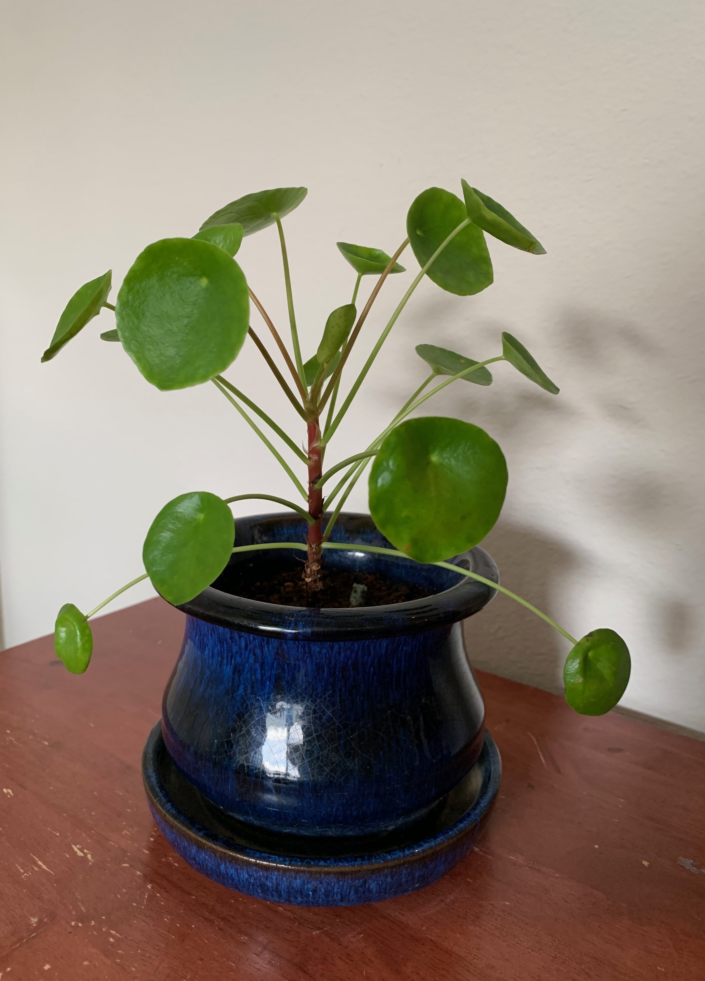 This is a pilea plant