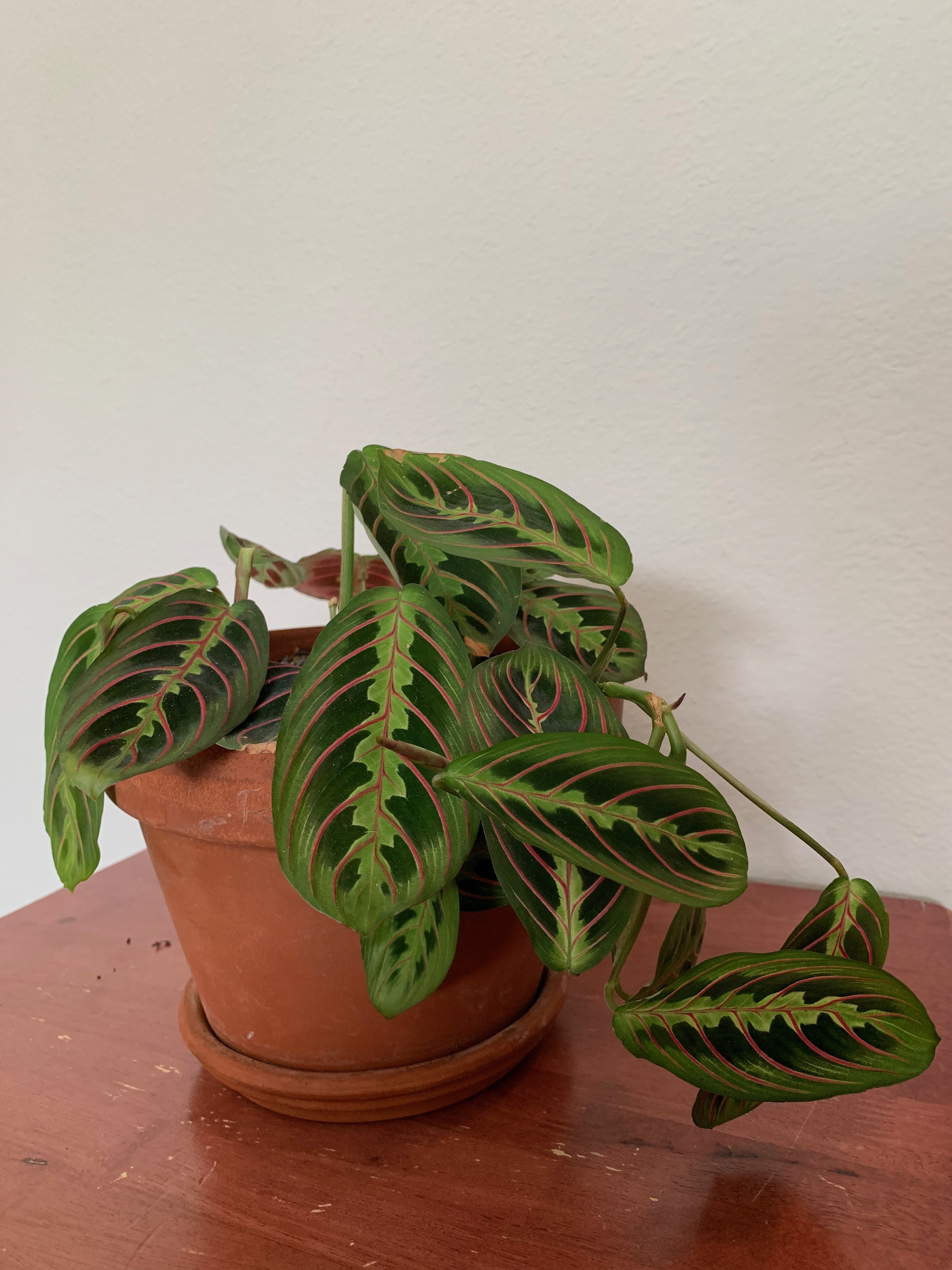 This is a prayer plant